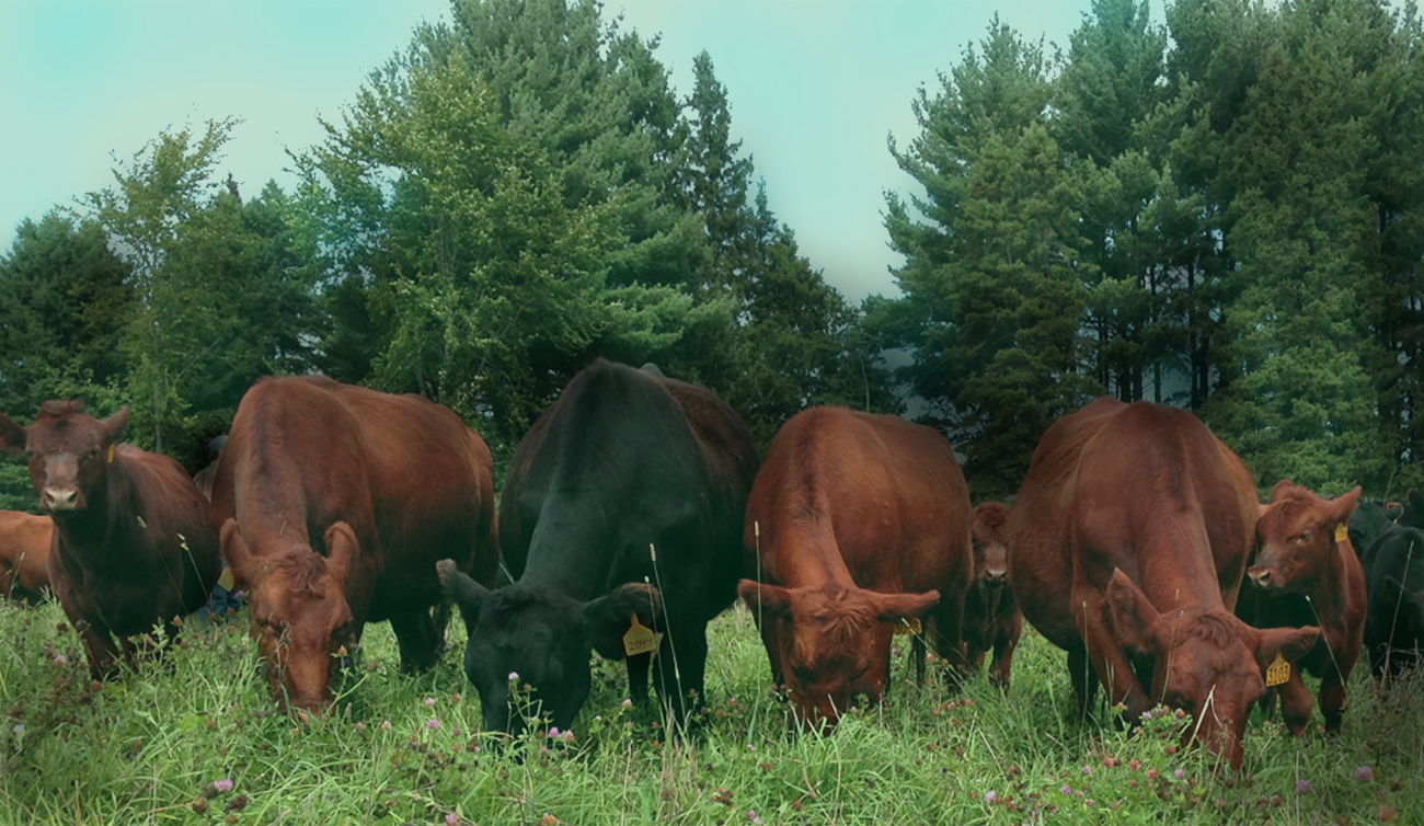 Grass Fed Beef In Cannon Falls MN