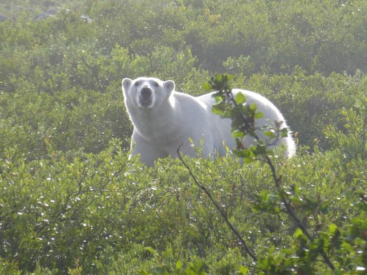 Misty morning polar bear at Seal River.