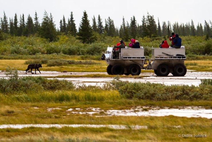 Wolf meets Tundra Rhino at Nanuk.