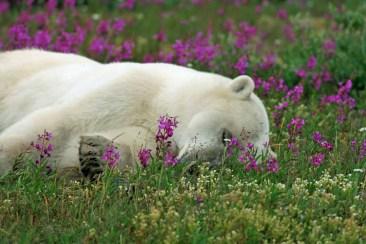 Hirsch-S-Polar-Bear-Birds-Bears-Belugas-Summer-Snooze