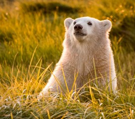 Polar-Bear-Cub-Nanuk-Polar-Bear-Lodge-Ann-Fulcher