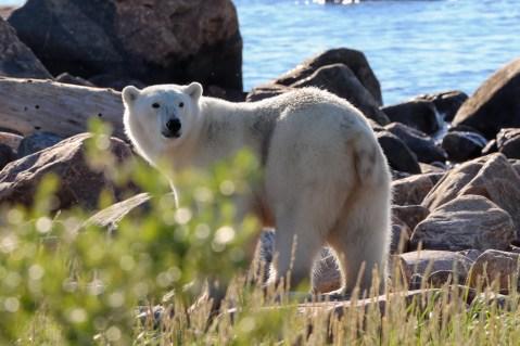 polar-bea-looking-back-churchill-wild-judith-herrdum