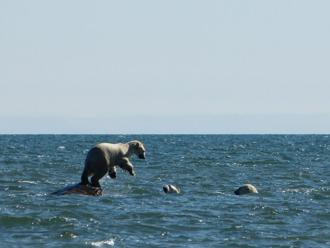 polar-bear-launching-off-of-rock-onto-two-bears-seal-river