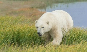 polar-bear-long-summer-grass-churchill-wild-dennis-fast