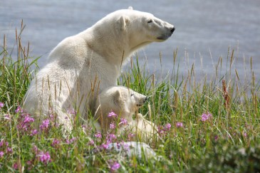 polar-bear-mom-and-cub-churchill-wild-allison-reimer