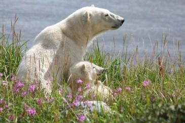 polar-bear-mom-and-cub-churchill-wild-allison-reimer
