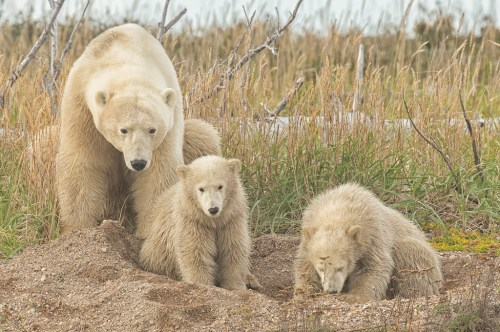 polar-bear-mom-and-cubs-nanuk-polar-bear-lodge-robert-postma