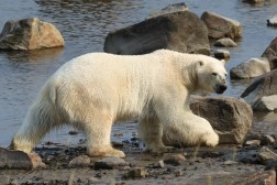 polar-bear-mud-rocks-seal-river-heritage-lodge-judith-herrdum