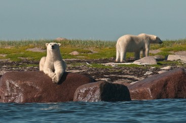 polar-bear-posing-on-rock-seal-river-heritage-lodge-dennis-fast