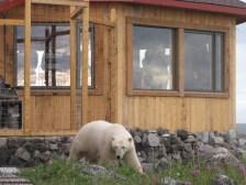 polar-bear-seal-river-summertime