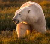 polar-bear-sunset-nanuk-ann-fulcher