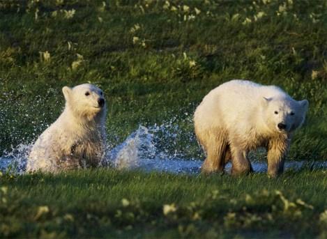 summer-polar-bear-cubs-splashing-nanuk-polar-bear-lodge