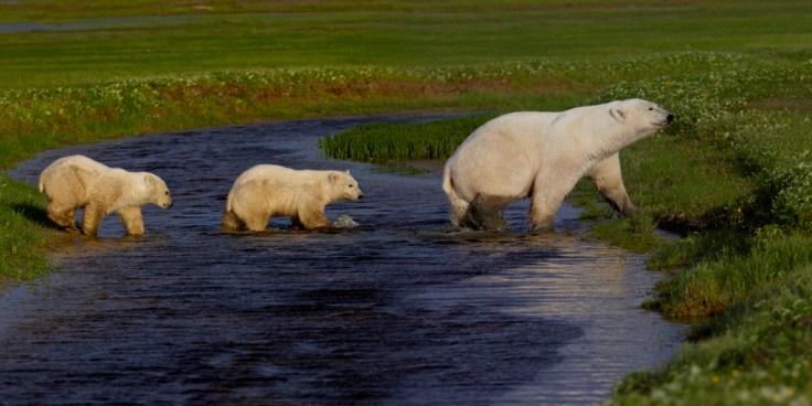 summer-polar-bears-in-creek-nanuk-polar-bear-lodge