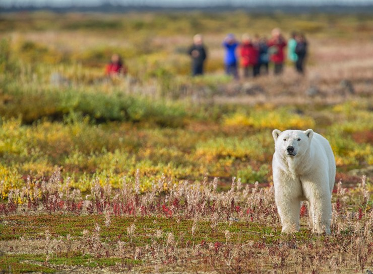 Walking with polar bears. Robert Postma photo.