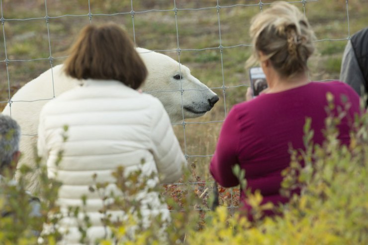 Polar bear arrives at the Lodge fence for tea.
