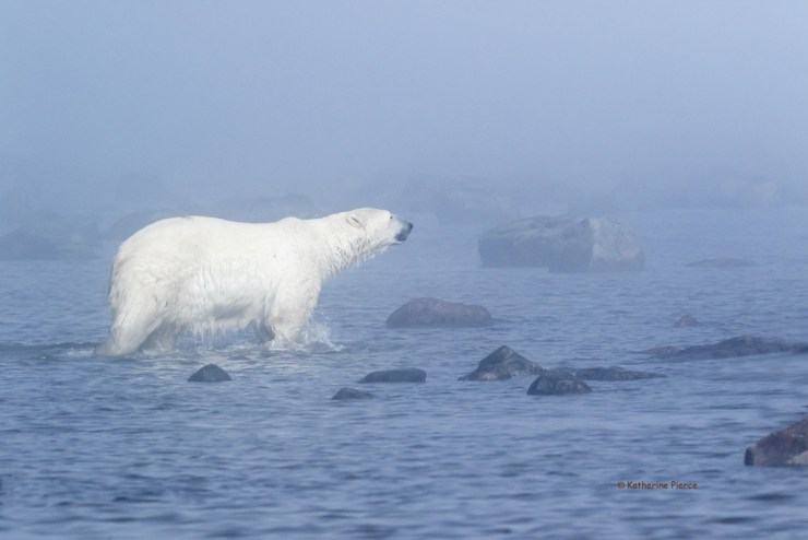 Polar bear in the fog at Seal River. Kathy Pierce photo.