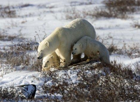 polarbearmomcubsdymondlake
