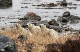 polarbearsthree