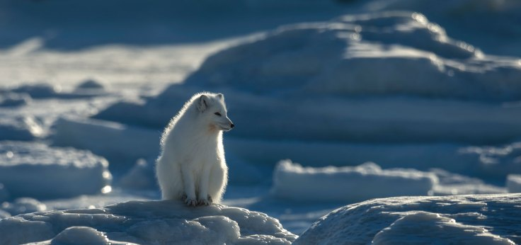 Arctic fox. Peaceful day at Seal River Heritage Lodge.
