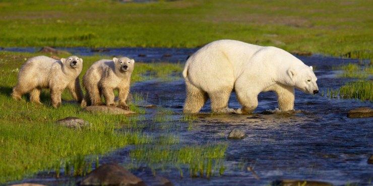 Polar bear cubs with Mom eye photographers at Nanuk Polar Bear Lodge.