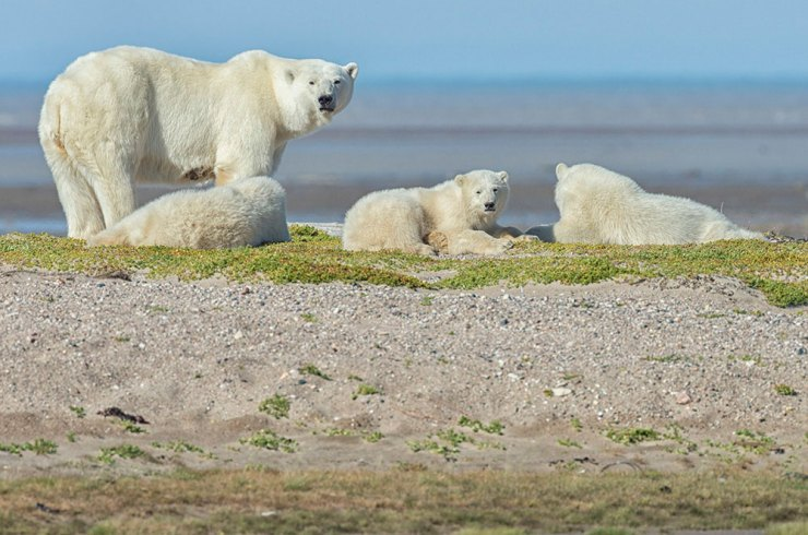 Polar bear mom and cubs on gravel bar at Nanuk.