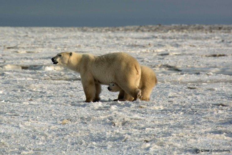 Polar bear cub peaks at proceedings from under Mom. Nanuk Polar Bear Lodge.