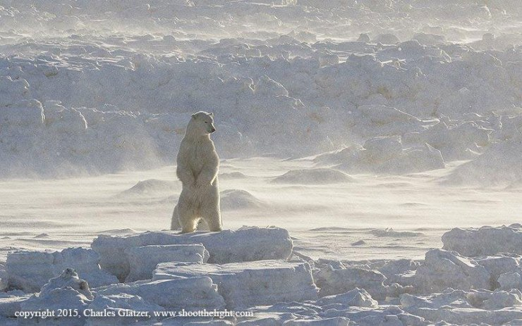 Polar bear surveying his domain at Seal River.
