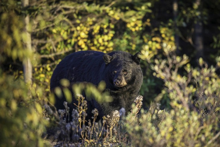 Black bear at Nanuk Polar Bear Lodge.
