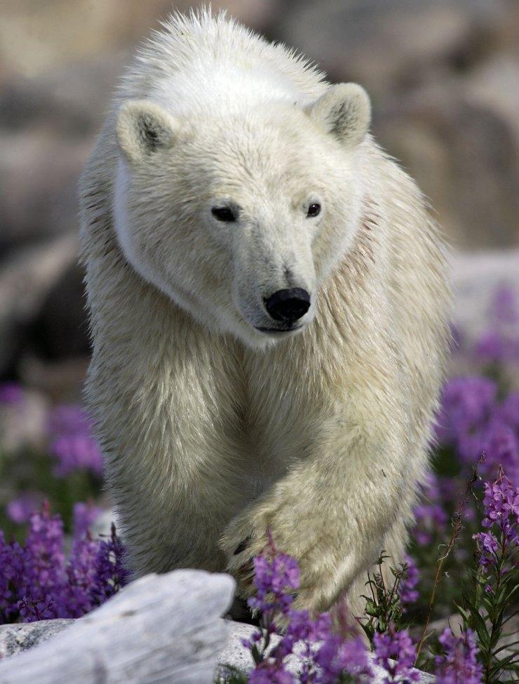 International Polar Bear Day 2016. Polar bear in rocks and fireweed at Seal River Heritage Lodge. Matthias Breiter photo.
