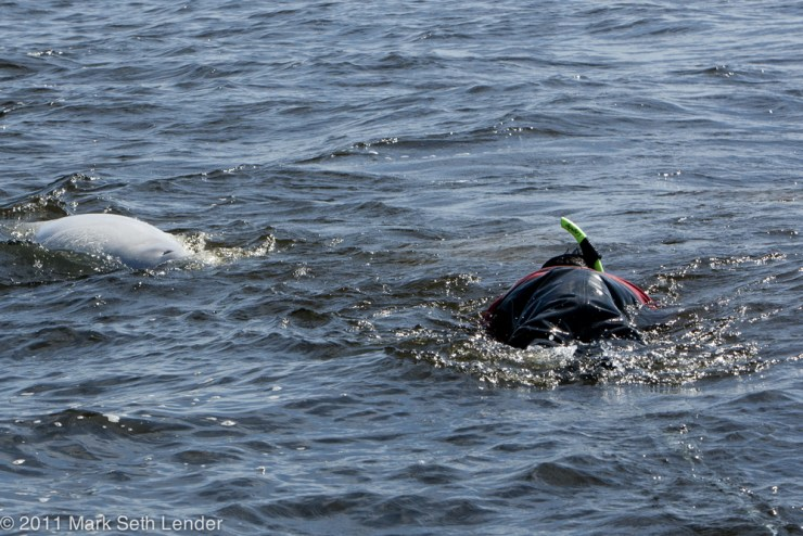 Swimming with belugas at Seal River. Photo courtesy of Mark Seth Lender.