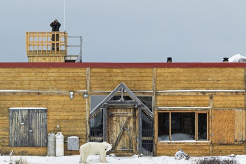 Polar bear in front of Seal River Heritage Lodge.