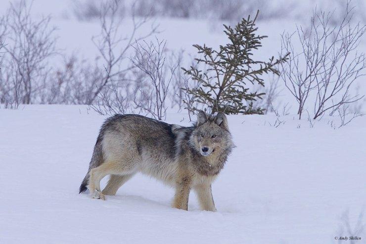 WolfNanukSkillen2