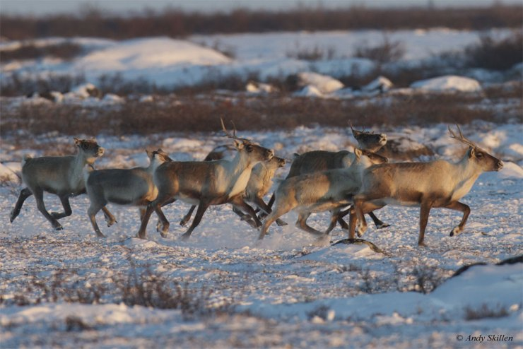 Caribou near Seal River Heritage Lodge. Andy Skillen photo.