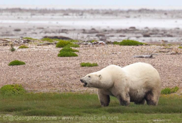 polarbearnanukkourounis