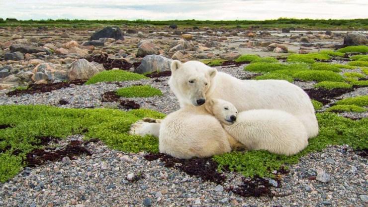polarbearcubswithmom