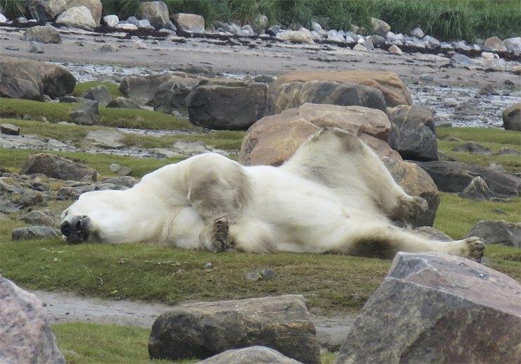Polar bear nap time