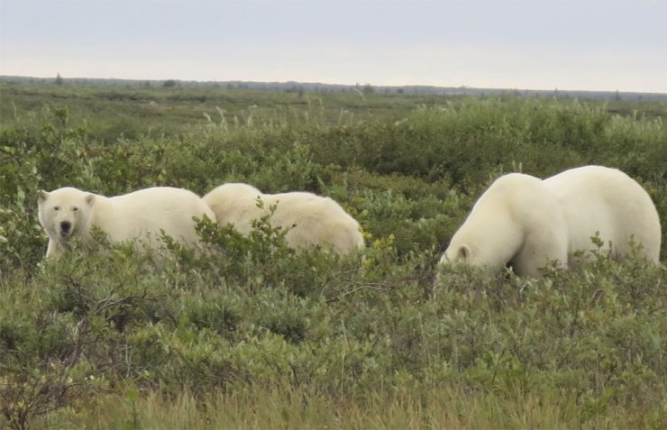 The welcoming committee. Polar bears in front of Seal River Heritage Lodge.