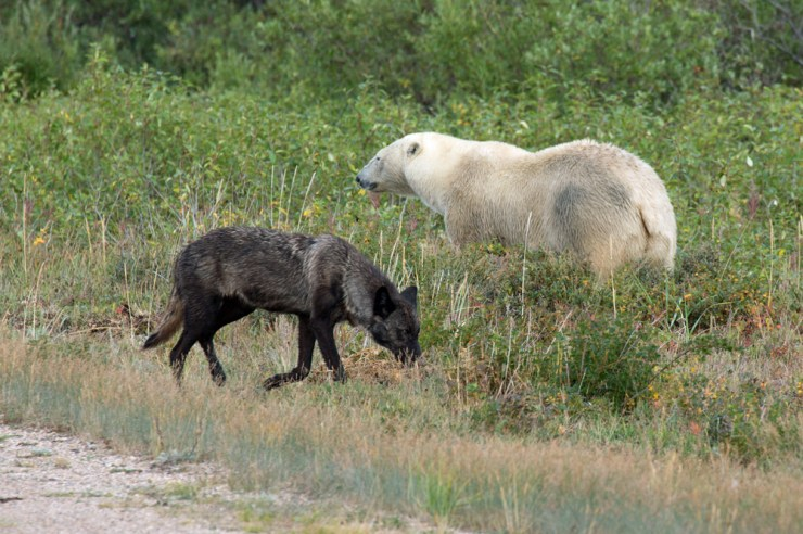 Wolf and polar bear at Nanuk Polar Bear Lodge. George Kourounis photo.