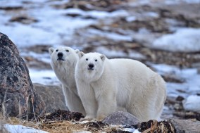 polarbearmomandcub1sealrive