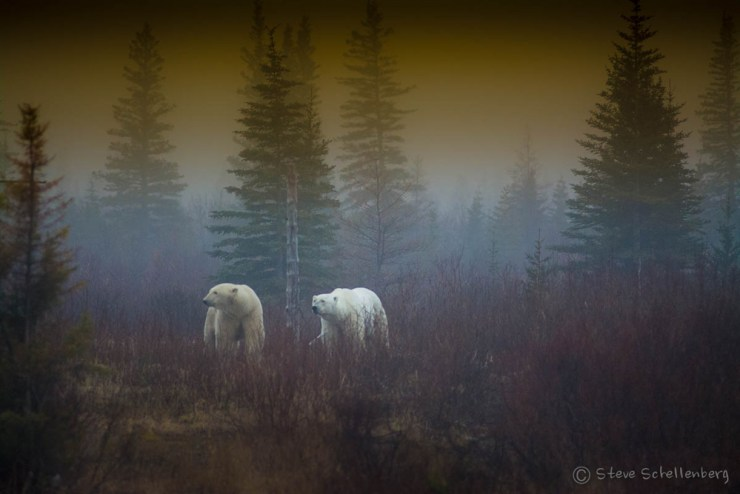 Polar bears in the mist at Nanuk. Photo by Steven Schellenberg.