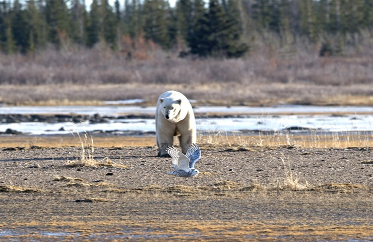 polarbearwithsnowyowl