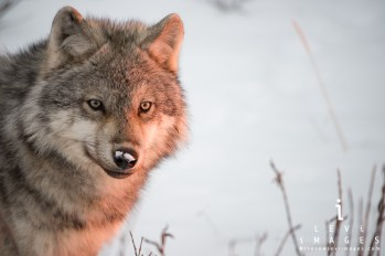 Lone wolf in sunlight. Steve Levi.