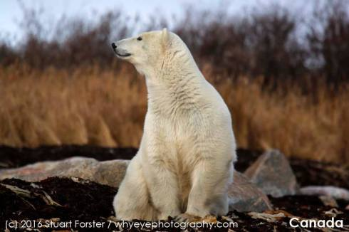 Alert polar bear at Seal River Heritage Lodge. Stuart Forster photo.