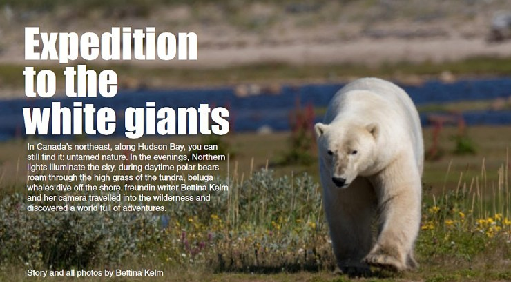A powerful walk from a giant at Nanuk Polar Bear Lodge.