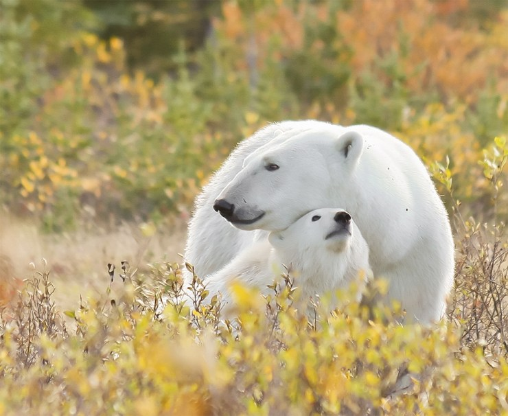 Mom and cub at Nanuk Polar Bear Lodge. Dennis Fast photo.