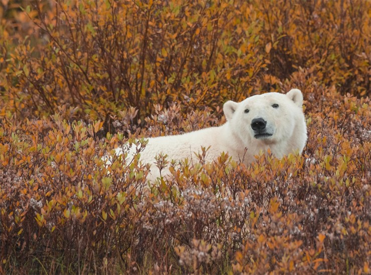 Polar bear in the willows at Nanuk Polar Bear Lodge. Jad Davenport photo.