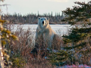 Scarbrow the polar bear poses for perfect picture on the Great Ice Bear Adventure.