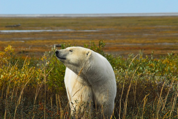 Polar bear on the Hudson Bay lowlands near Nanuk Polar Bear Lodge.