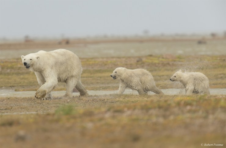 Summer polar bears on the move at Nanuk Polar Bear Lodge. Robert Postma photo.