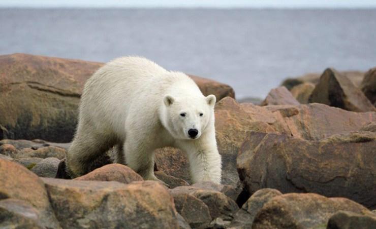 Big bear on the move. Denae D'Arcy photo.